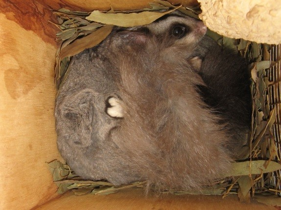 Squirrel glider in nesting box ~ R Drury