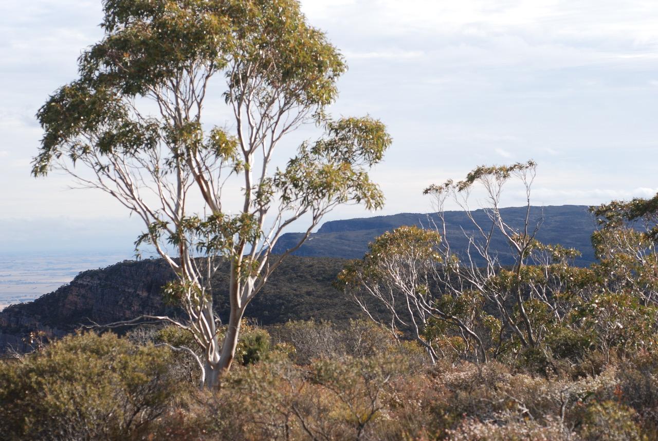 rare eucalypt