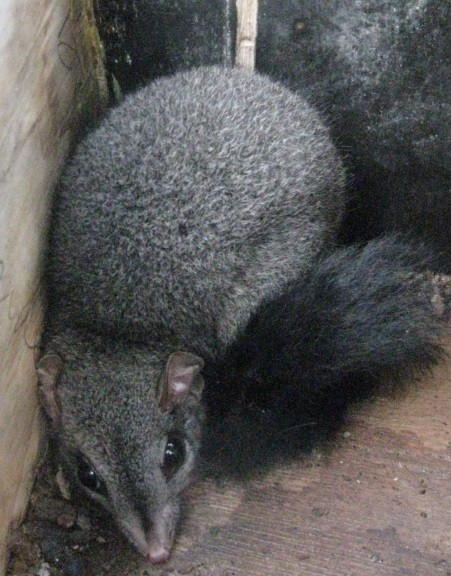 Phascogale in nesting box ~ R Drury